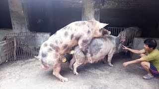 Life of Pigs 02: ''Two Man'' || Funny Pigs Mating || Mating Pigs