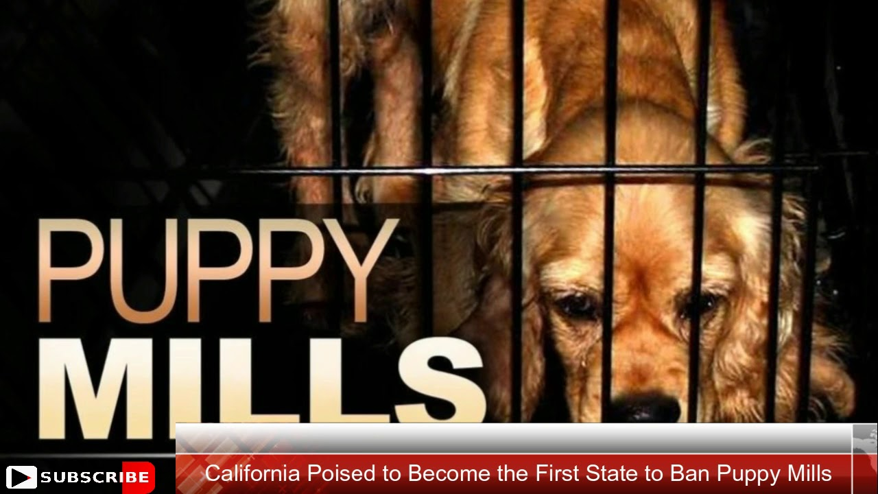 banning puppy mills Between 2 million and 4 million dogs are born in us puppy mills every year, according to the humane society of the united states  since the ban started.