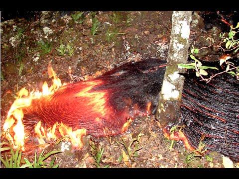 THE PAHOA FLOW/ TREES DOWN IN KA'OHE HOMESTEADS