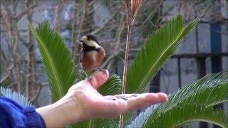 🐦🐦手乗りになった山雀 自宅の庭に来る野鳥の(山雀)が人の手から餌を採る程慣れました!可愛いです!!