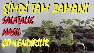 Salatalık tohumu nasıl çimlendirilir?