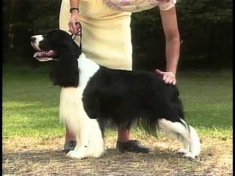 English Springer Spaniel - AKC Dog Breed Series