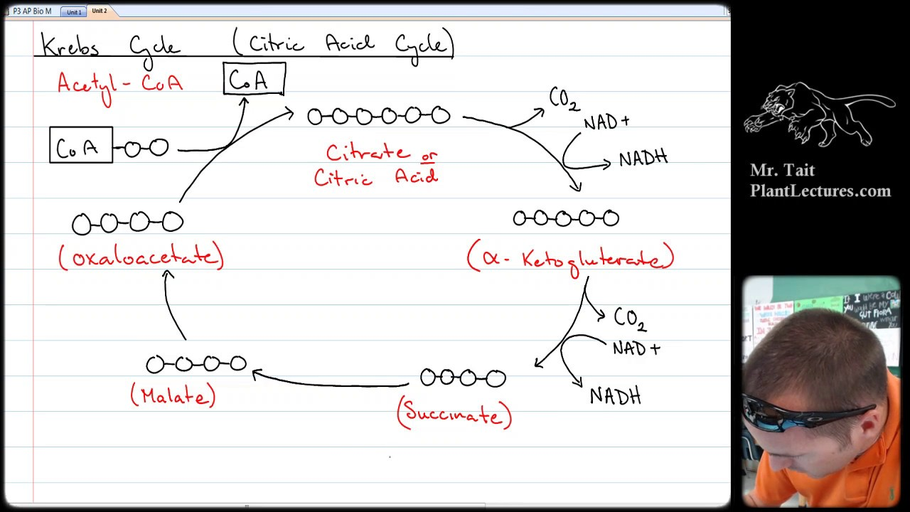 ap biology krebs cycle essay