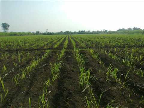 SUGARCANE FARMING IMAGE VIDEO