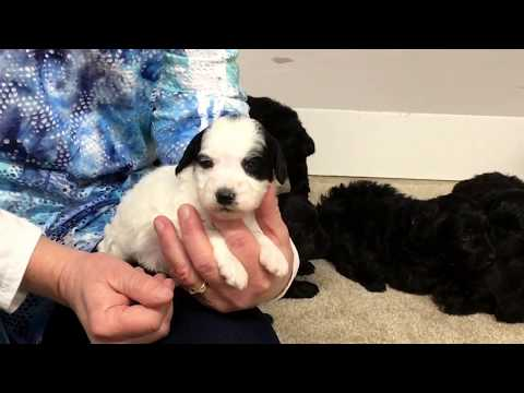 Rubys schnoodle puppies
