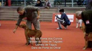 portuguese pointer perdigueiro portugus judging at an all breed dog show in santarm portugal