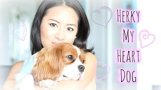 Cavalier King Charles Spaniel | Herky My Heart Dog