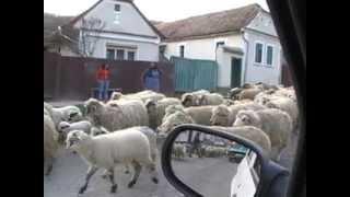Schafherde in Rumänien