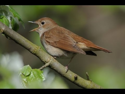 450 seconds Common Nightingale