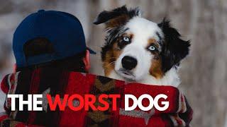 4 Reasons An Australian Shepherd Is The Worst Dog