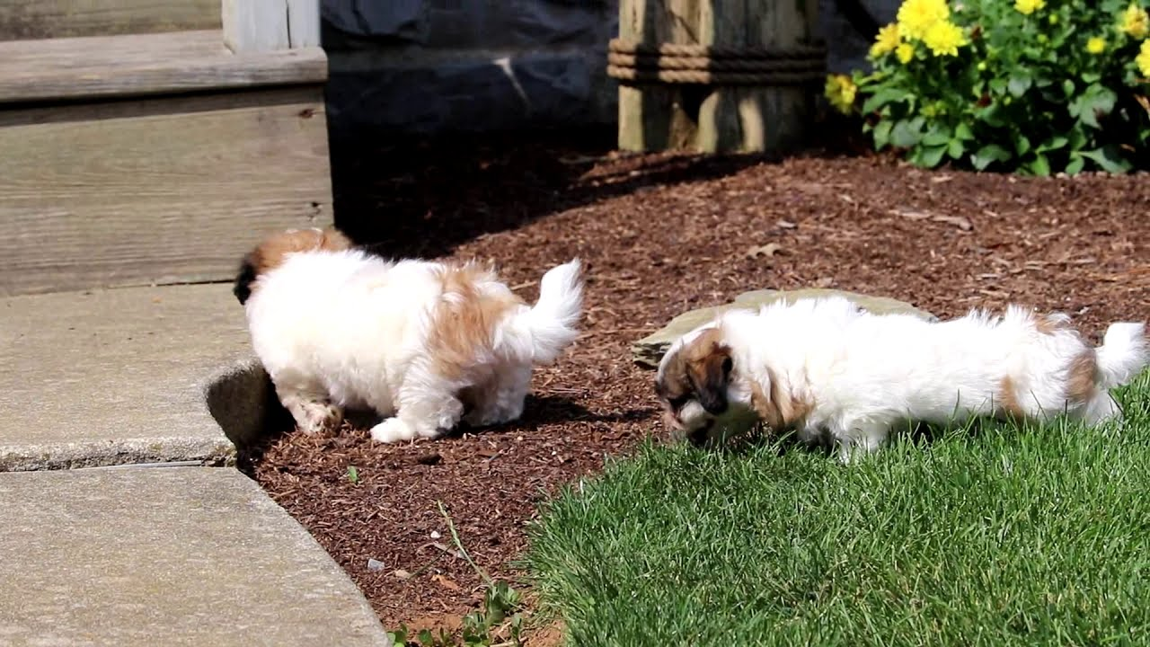 Violet | Shichon (Teddy Bear) Puppy For Sale | Keystone Puppies