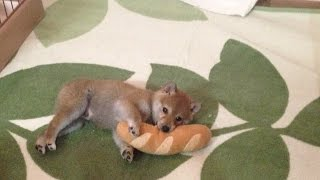 柴犬だいふくのパン祭り〜初対面編〜です。Daifuku likes bread's toy v...