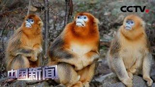 [中国新闻] 关注秦岭珍稀动物繁育季 连生六只 秦岭金丝猴繁育创十年来最佳纪录   CCTV中文国际