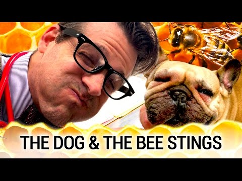 The Dogs and the Bee Stings - When to Go to the Vet?