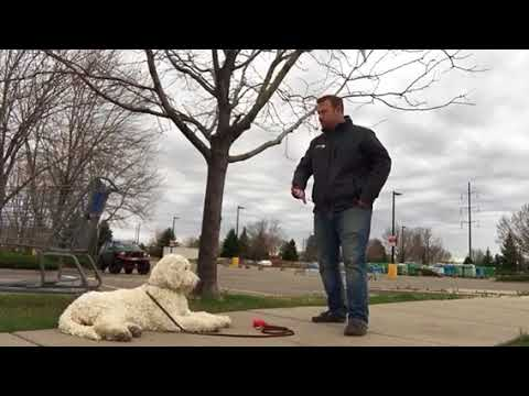 Sit, Down, Stay - trained Australian Labradoodle