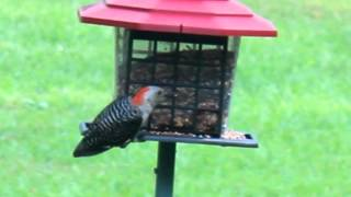 Woodpecker Return To The Birdfeeder For Treats - The Lighthouse Lady