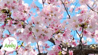 Baixar Stunning Cherry Blossoms - Relaxing & Meditation Music - 2 Hours Yoga & Meditation 1080P HD