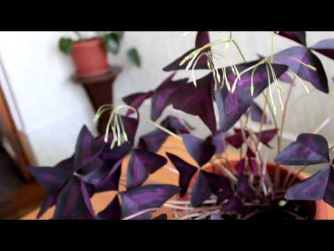 Кислица, или Заячья капуста Выращивание кислицы, уход и