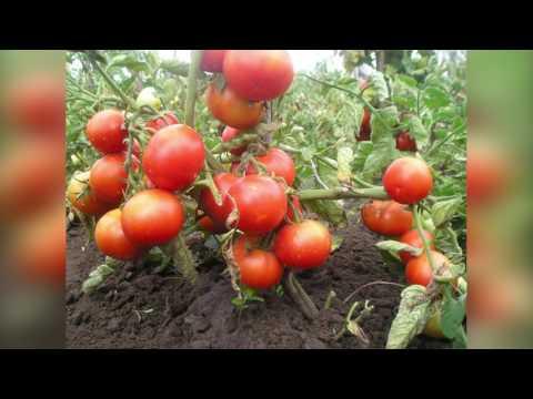 Вопрос: Как нельзя прищипывать томаты?