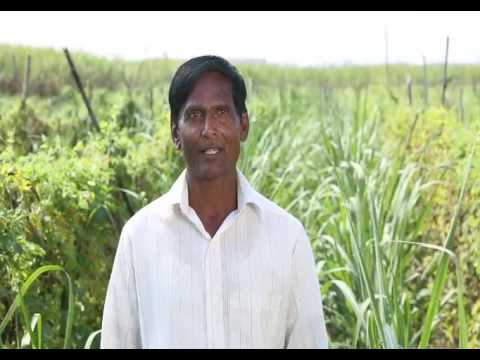 How to achieve 100 tonnes sugarcane crop per acre