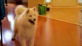 samoyed happy dance