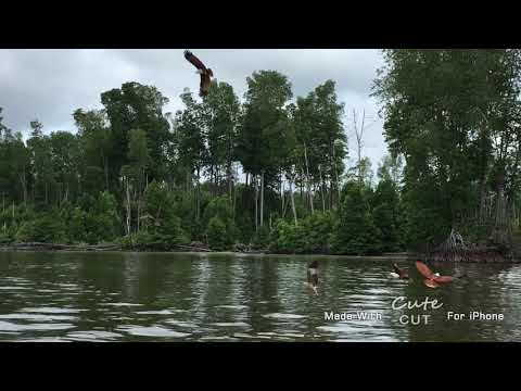Out to the sea 🌊 at Malaysia 🇲🇾natural mangroves and eagles 🦅 feeding session ( part 3)
