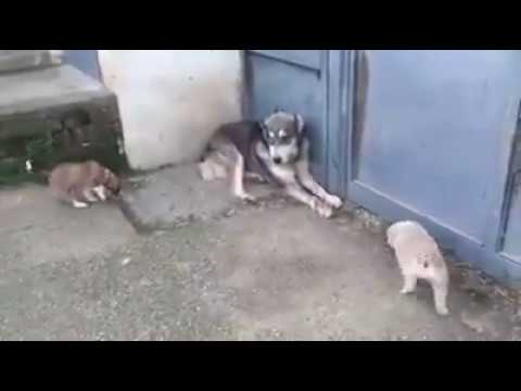 Mom protects her puppies from dad