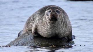 Knubbsäl Harbour Seal