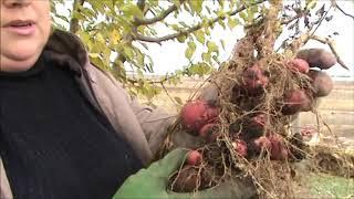 видео Готовим сад к зиме и хвастаемся урожаем