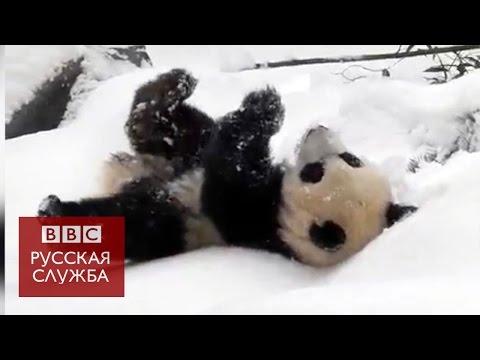 Панды в зоопарке Торонто радуются снегу