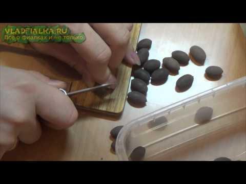 Как из семян вырастить лотос из семян в домашних условиях видео