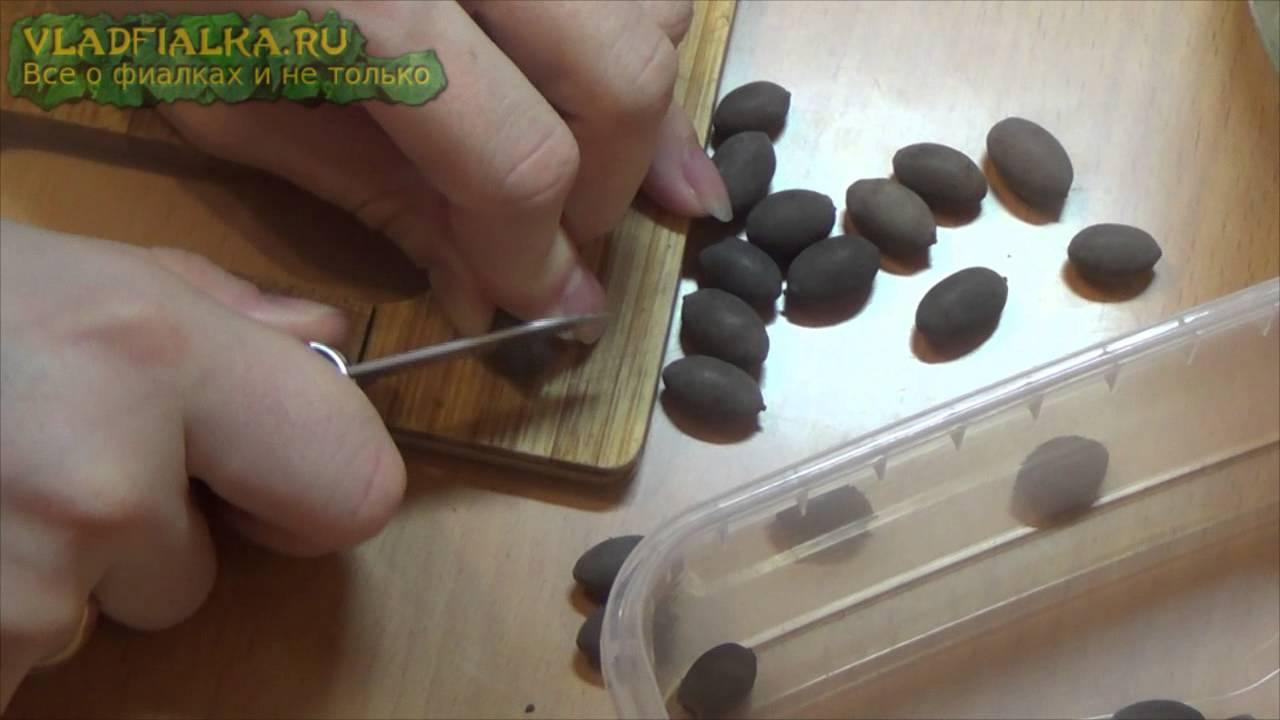Как вырастить лотос из семян в домашних условиях фото пошагово