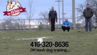 K9dojo Westie Puppy Off Leash Dog Training Richmond Hill