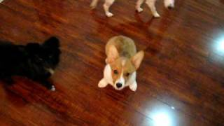 Funny Corgi Puppy And Friends Doing Tricks!