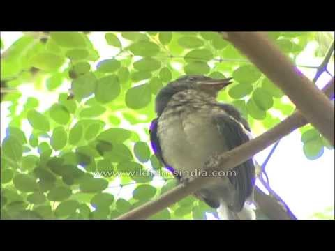 Magpie Robin mother and her chick in a Delhi city garden