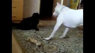 Питбуль против кошки / Pitbull vs Cat