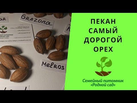 Семена орех Пекан для выращивания саженцев в Украине. Дерево Кария Пекан характеристика и описание