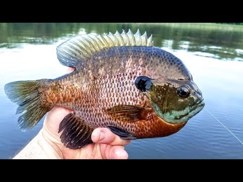 Different Types Of Bluegill And Sunfish