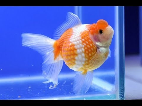 100% BREEDING SUCCESS-  How To Let Your  GOLDFISH Spawn Her Eggs In 10 Days
