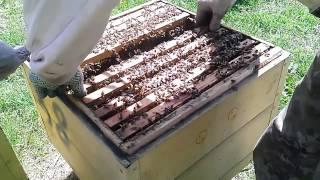 Как я отбираю маточники | Пчеловодство(Как я отбираю маточники и по каким критериям. Как определить роевые качественные маточники, а также некото..., 2016-05-21T10:55:37.000Z)