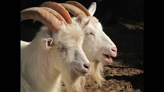 Saanen keçiləri, Зааненская порода коз.