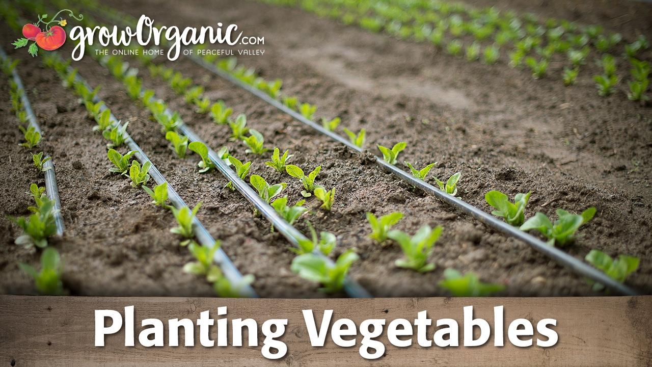 How to Plant Vegetable Starts | Organic Gardening Blog