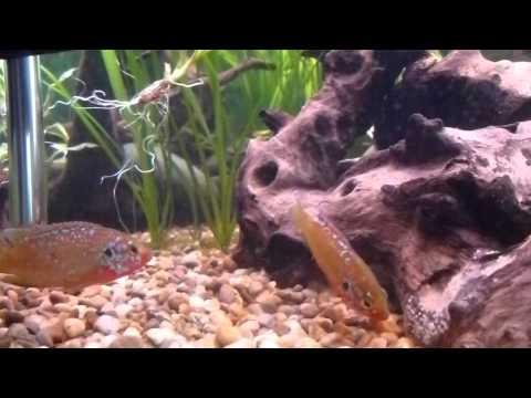 Jewel cichlids moving their eggs