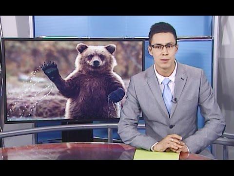 Незваные гости. Бурые медведи все чаще стали выходить к людям