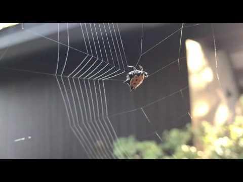 Паук плетёт паутину - непостижимое волшебство природы!