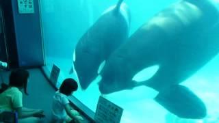 子供と遊ぶシャチの親子【名古屋港水族館2012】 thumbnail