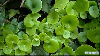 Les vertues du Nombril de Venus plante sauvage comestible