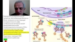 Этапы биосинтеза белка