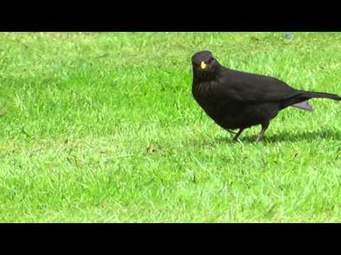 Blackbird Female   MP 190512 Video