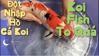 Đột Nhập Hồ Cá Koi Có 1 Không 2 và Cái Kết Khủng -Cá chép Nhật (Koi Fish Pond)- Cuộc Sống Mỹ-Vlog 59